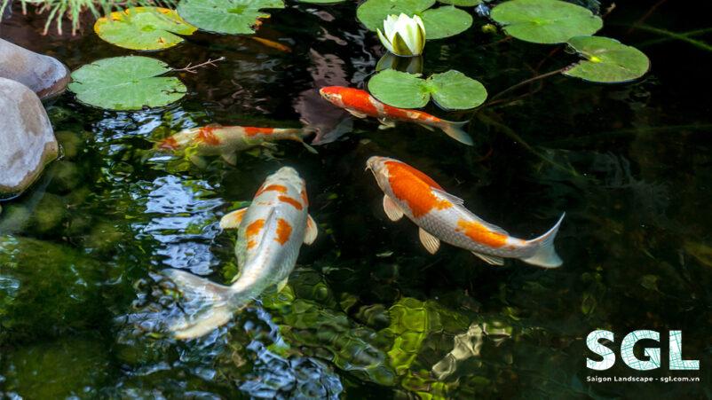 Cảnh Quan Sài Gòn thi công hồ cá koi chuyên nghiệp
