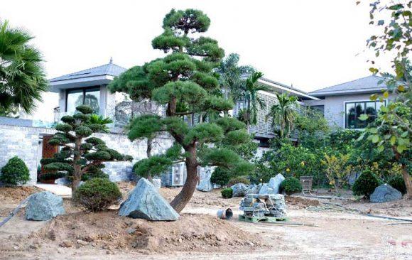 Cung cấp tùng la hán Nhật Bản